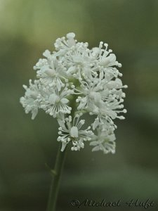 Actaea pachypoda - Michael Huft