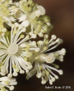 Actaea pachypoda - Robert E. Barber