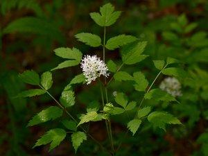 Actaea pachypoda - Vern Wilkins