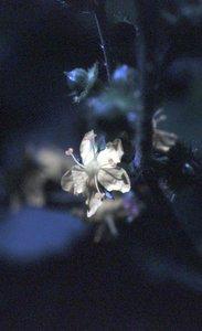 Agrimonia gryposepala - Ed Zschiedrich
