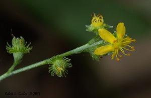 Agrimonia gryposepala - Robert E. Barber