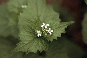 Alliaria petiolata - Ed Zschiedrich