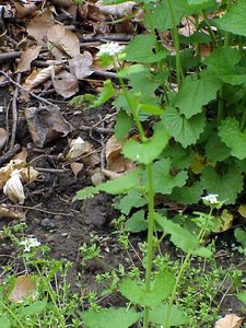 Alliaria petiolata - Marcia E. Moore