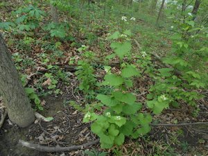 Alliaria petiolata - Nick Harby