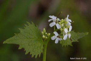 Alliaria petiolata - Robert E. Barber