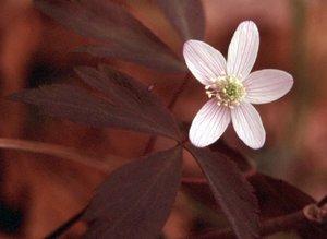 Anemone quinquefolia - Ed Zschiedrich