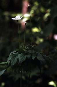 Anemone virginiana - Ed Zschiedrich