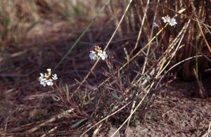 Arabidopsis lyrata subsp. lyrata - Ed Zschiedrich