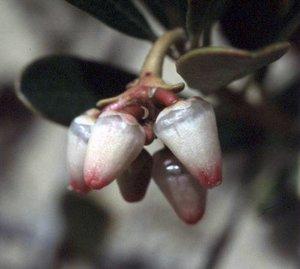 Arctostaphylos uva-ursi - Ed Zschiedrich