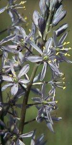 Camassia scilloides - Ed Zschiedrich