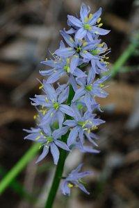 Camassia scilloides - Vern Wilkins