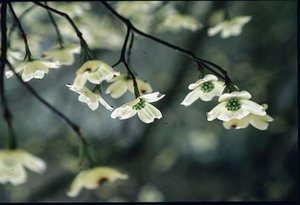 Cornus florida - Ed Zschiedrich