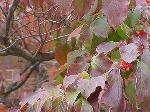 Cornus florida - Marcia E. Moore
