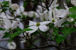 Cornus florida - Vern Wilkins