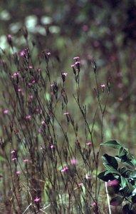 Dianthus armeria - Ed Zschiedrich