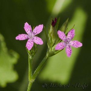 Dianthus armeria - Michael Huft