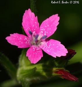Dianthus armeria - Robert E. Barber