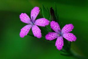 Dianthus armeria - Vern Wilkins