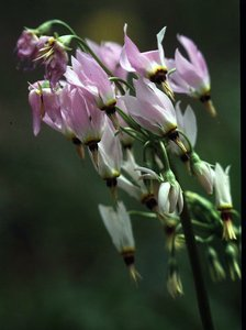 Dodecatheon meadia - Ed Zschiedrich