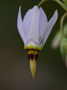 Dodecatheon meadia - Vern Wilkins