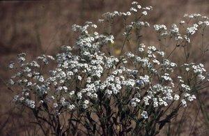 Euphorbia corollata - Ed Zschiedrich