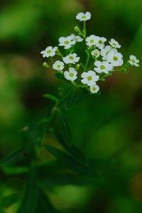 Euphorbia corollata - Vern Wilkins