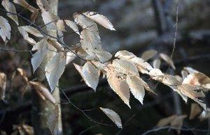 Fagus grandifolia - Ed Zschiedrich