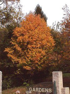 Fagus grandifolia - Marcia E. Moore