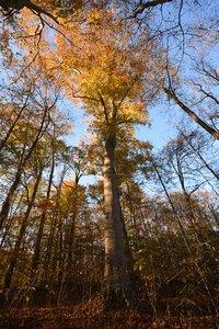 Fagus grandifolia - Vern Wilkins