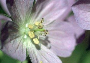 Geranium maculatum - Ed Zschiedrich