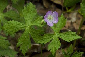Geranium maculatum - Michael Huft