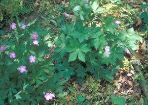 Geranium maculatum - Marcia E. Moore