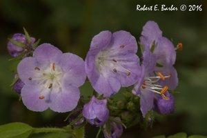 Geranium maculatum - Robert E. Barber