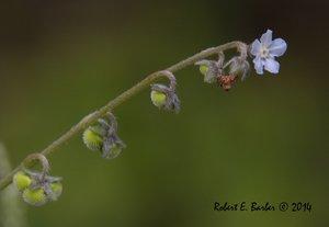 Hackelia virginiana - Robert E. Barber