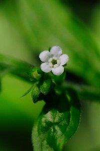 Hackelia virginiana - Vern Wilkins