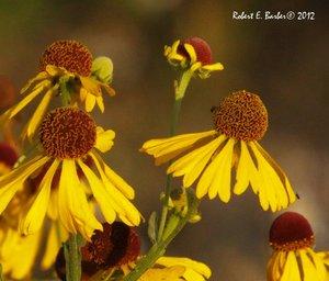 Helenium flexuosum - Robert E. Barber