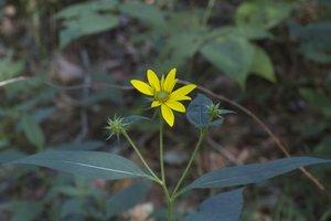 Helianthus tuberosus - Robert E. Barber