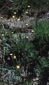 Hieracium piloselloides - Ed Zschiedrich