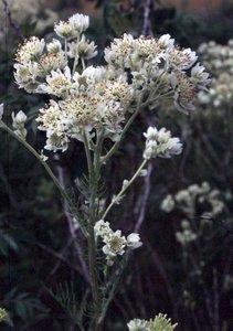 Hymenopappus scabiosaeus - Ed Zschiedrich