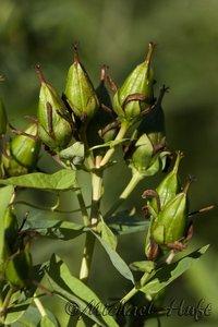 Hypericum ascyron subsp. pyramidatum - Michael Huft
