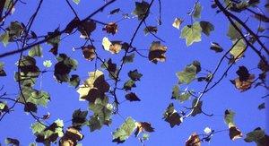 Liriodendron tulipifera - Ed Zschiedrich