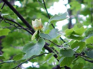 Liriodendron tulipifera - Marcia E. Moore