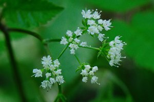 Osmorhiza claytonii - Vern Wilkins