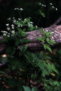 Osmorhiza claytonii - Ed Zschiedrich