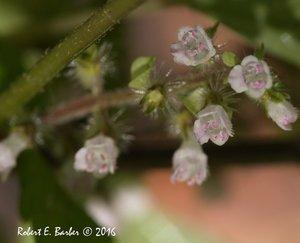 Perilla frutescens - Robert E. Barber
