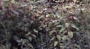 Phytolacca americana - Ed Zschiedrich