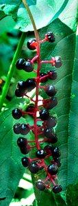 Phytolacca americana - Rick Mark
