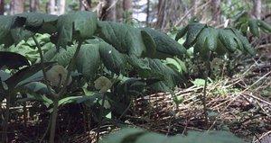 Podophyllum peltatum - Ed Zschiedrich