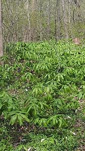 Podophyllum peltatum - Marcia E. Moore