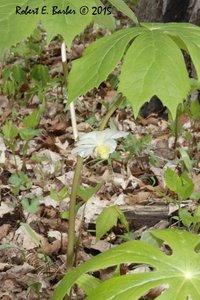 Podophyllum peltatum - Robert E. Barber